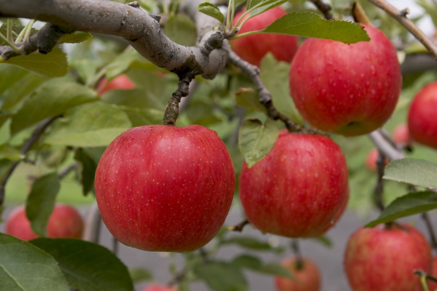 85_apple_01.jpg