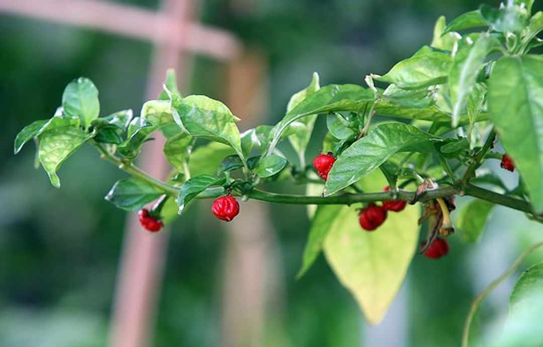 dragons-breath-pepper.jpg