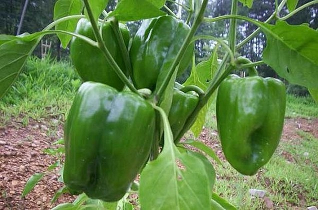 green-bell-pepper.jpg