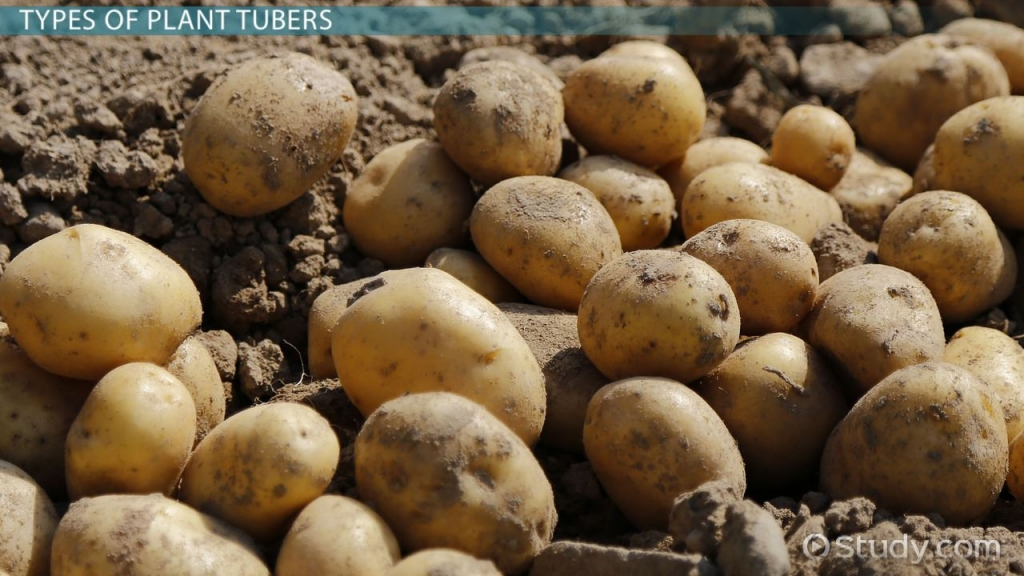 plant-tubers-types-examples-quiz_01012019_113788.jpg