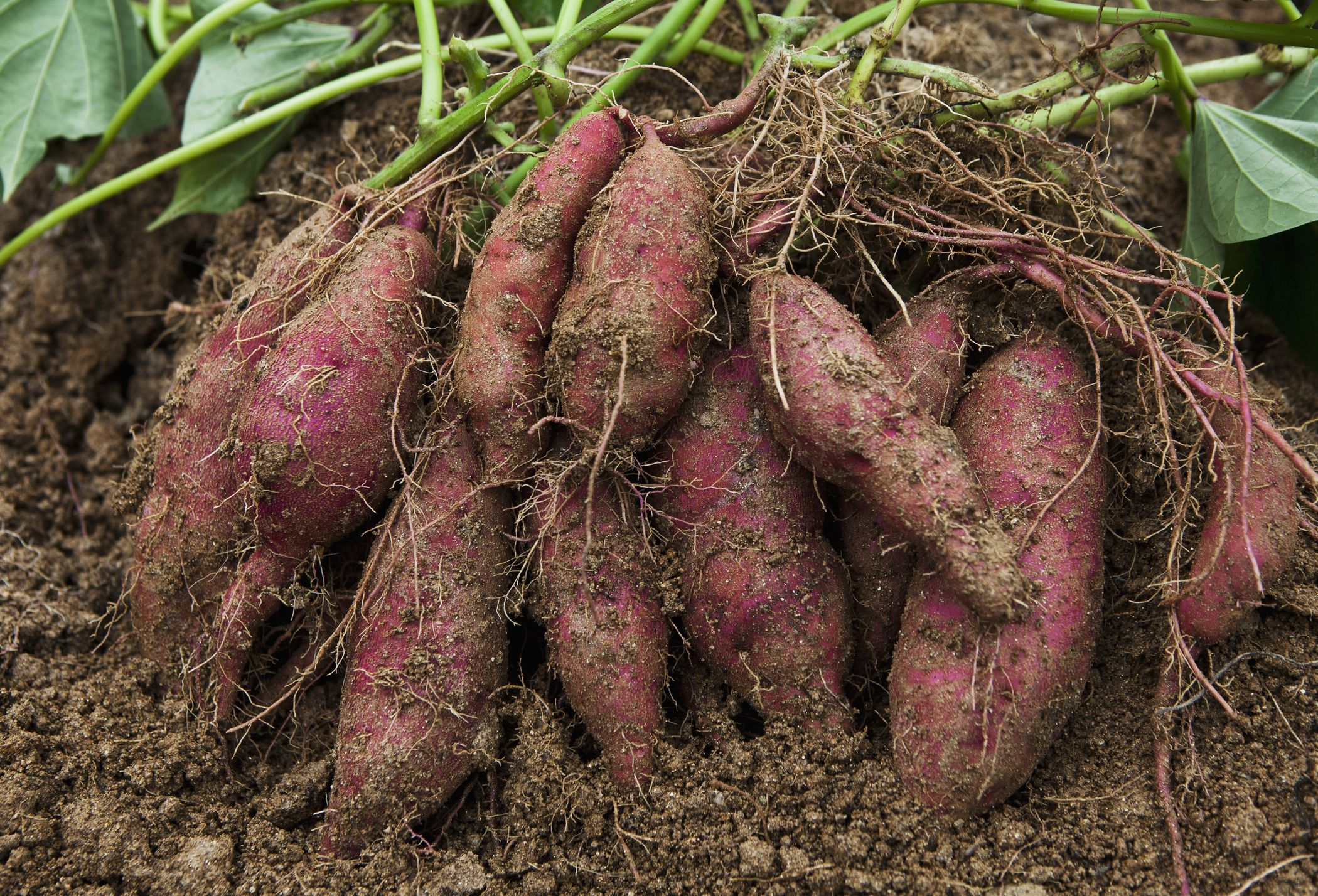 Sweet-potatoes-GettyImages-592411298-58bc9a215f9b58af5cc1ae4f.jpg
